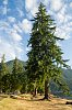 -lake-crescent-spruce.jpg