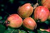 -norland-apples.jpg