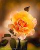 -brookfield-roses-dec-2019-1-1-.jpg