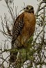 -hawk-checking-me-out-1.jpg