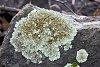 -lichen2.jpg