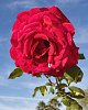 -roses-kp_2020ja24-1.jpg