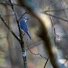 -bluebird-looking-back-small.jpg