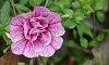 -wild-rose.jpg