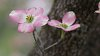 -dogwood-blossom2.jpg
