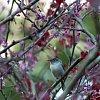 -blue-gray-gnatcatcher-small.jpg