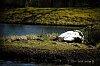 -samyangaf70-210_swans.jpg