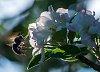 -bee-apple-blossom.jpg
