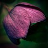 -delicate-plum.jpg
