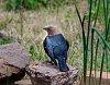 -cowbird-small.jpg
