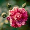 -frosted-rose.jpg
