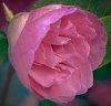 -pink-delight.jpg