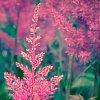 -rosebay-willowherb.jpg
