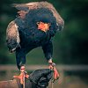 -lady-kerrowdown-raptor.jpg