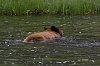 -yellowstone-6-june-2020-brown-bear-swimming-02-small.jpg