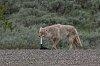 -yellowstone-6-june-2020-coyote-01-small.jpg
