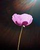 -pink-poppy.jpg