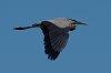 -imgp5062_blue_heron_crop_c_jones.jpg