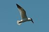 -imgp6127_c_jones_tern_crop_rszd.jpg