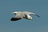 -imgp6212__c_jones_0704_seagull_crop.jpg