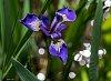 -iris-water.jpg