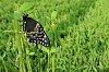 -swallowtail-side.jpg