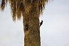 -gila-woodpeckers-2-.jpg