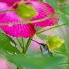 -hibiscus-hummingbird.jpg