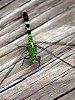 -green_dragonfly.jpg
