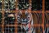 -tiger.jpg