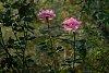 -backlit-rose.jpg