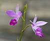 -2017-11-30-bamboo-orchid-7456_1.jpg