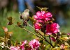-pine-warbler-camilia2-small.jpg