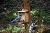 -bluye_jays_enjoying_squirrel_feeder.jpg