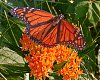 -imgp3067-butterfly-butterfly-bush.jpg