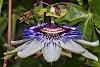-passiflora-honeybee-6995.jpg