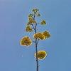 -agave-blooms-birds-blooms-8561.jpg