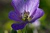 -wild-geranium-2s.jpg