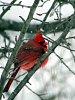 -male_cardinal.jpg