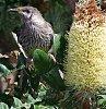 -wattle-bird-banksia-grandis.jpg