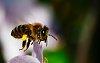 -ap-honeybeeflyingcroppedresize.jpeg