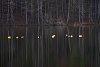 -geese-golden-light-sm.jpg