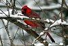 -cardinal_in_snowy_bush.jpg
