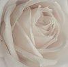-minimal-rose.jpg