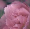 -pastel-rose.jpg