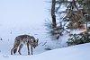 -coyote.jpg