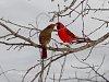 -19_cardinals_kissing.jpg