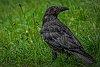 -fantasy-blood-raven.jpg