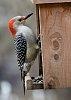 -woodpecker_gwp3.jpg