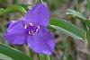 -spiderwort-blossom.jpg